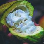*Musee Gourmand du Chocolat Plantation BD